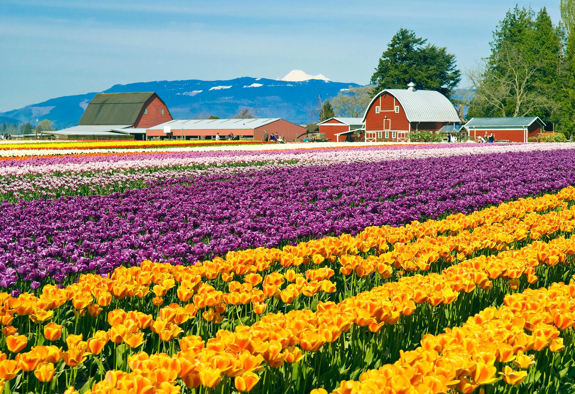 skagit-valley-tulip